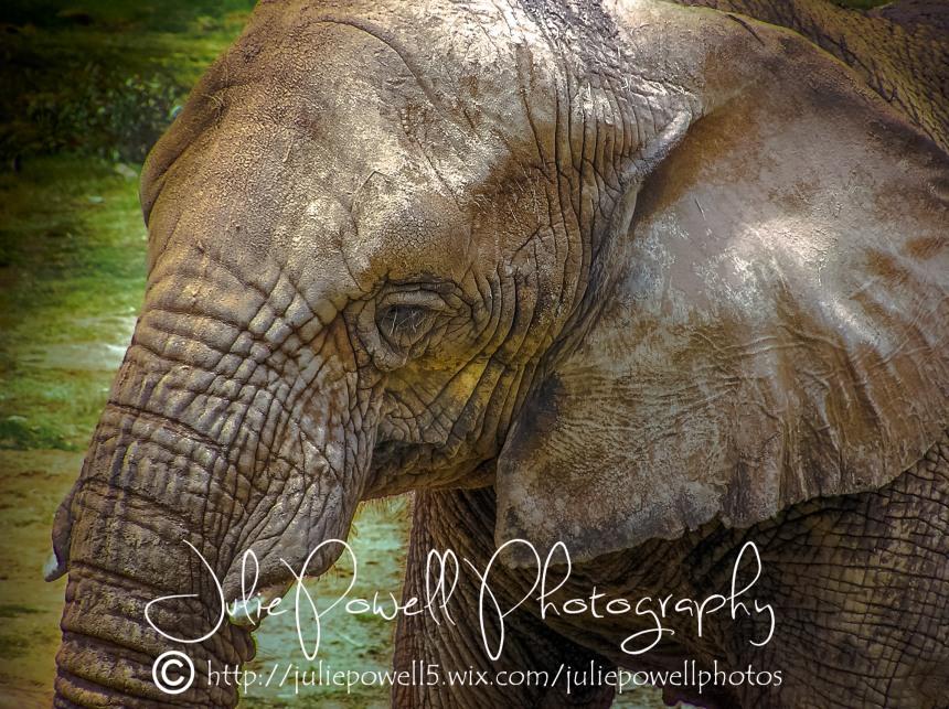 Asian Elephant Dubbo Zoo