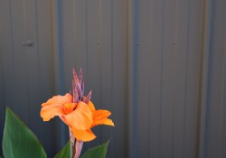 First Canna Lilly of Spring