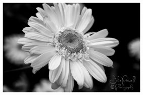 Large Daisy - to Ant