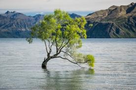 The Tree, Lake Wanaka
