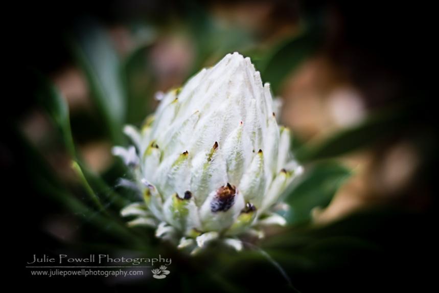 King White Protea