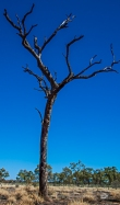 Dead trees are everywhere silhouette against the cobalt blue sky