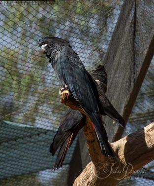 Black Crested Cockatoo