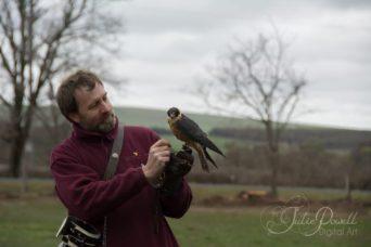Peregrin Falcon