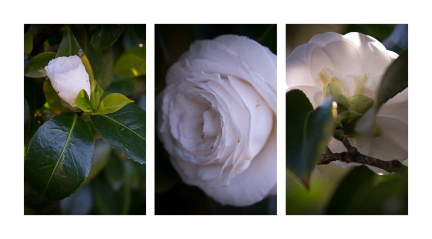 camelia-triptych