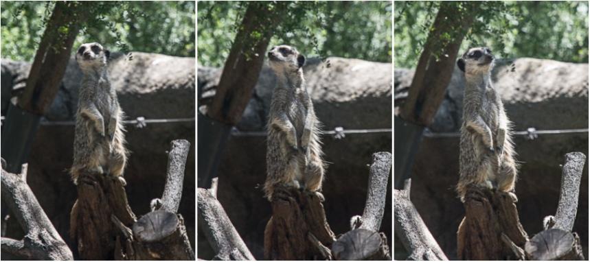 meerkat-triptych