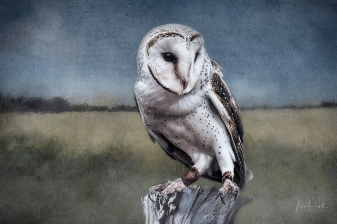Julie Powell_Barn Owl-1