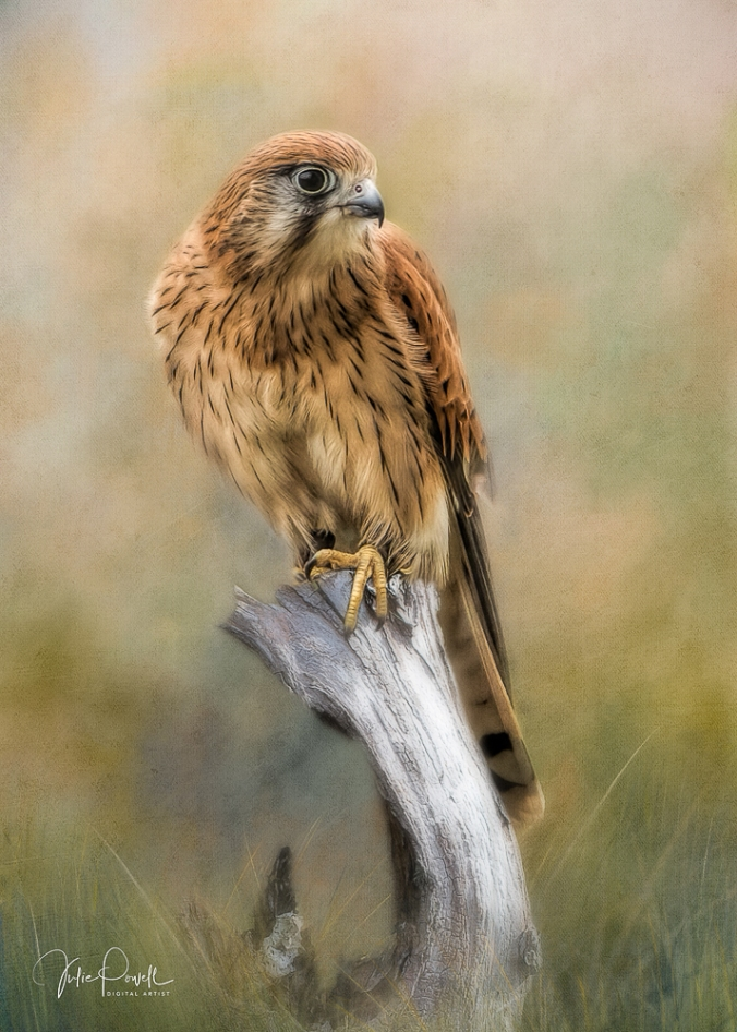 Julie Powell_Kestrel-1