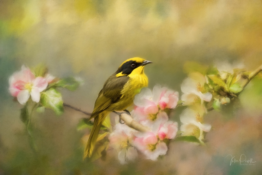 Julie Powell_Helmeted Honeyeater-1