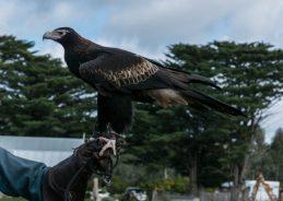 Yarrum - Wedge Tailed Eagle