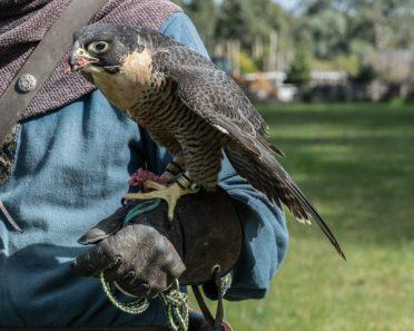 Cleo - Peregrine Falcon