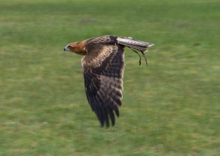 Tyriel - Little Eagle