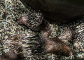 Baby Porcupine feeding