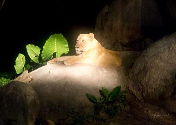 Lioness by spotlight