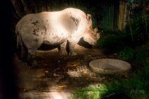 Stunned Rhino