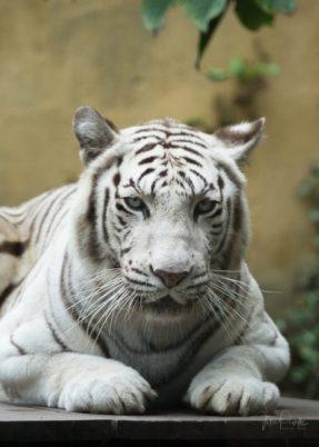 JuliePowell_Bali Zoo-28