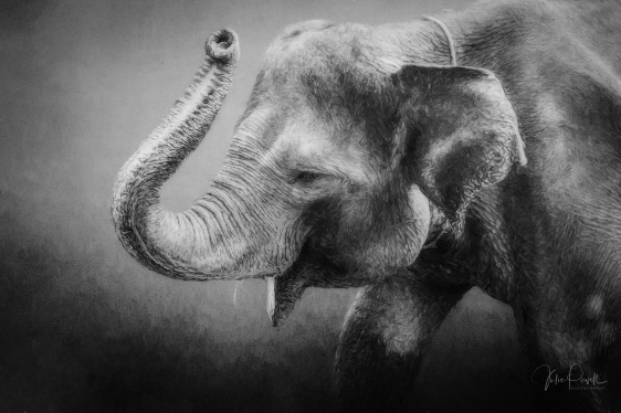 JuliePowell_Elephant-1