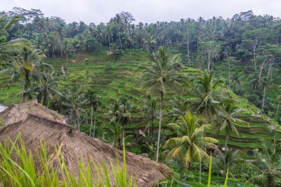 JuliePowell_Rice Terraces of Kintamani-1