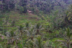JuliePowell_Rice Terraces of Kintamani-2