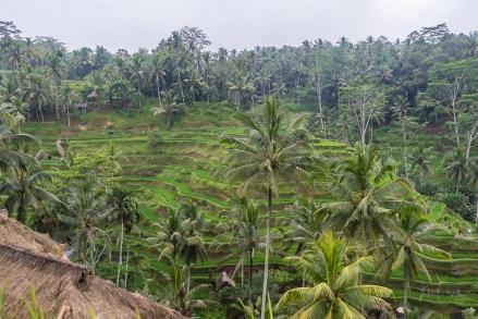 JuliePowell_Rice Terraces of Kintamani-4