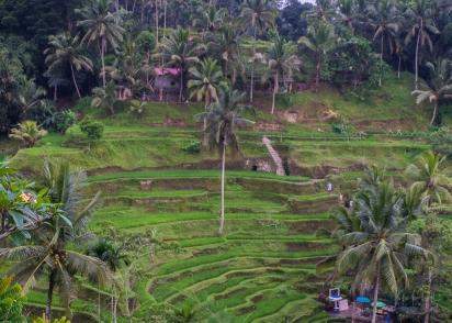 JuliePowell_Rice Terraces of Kintamani-7