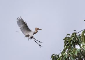 JuliePowell_White Heron-1