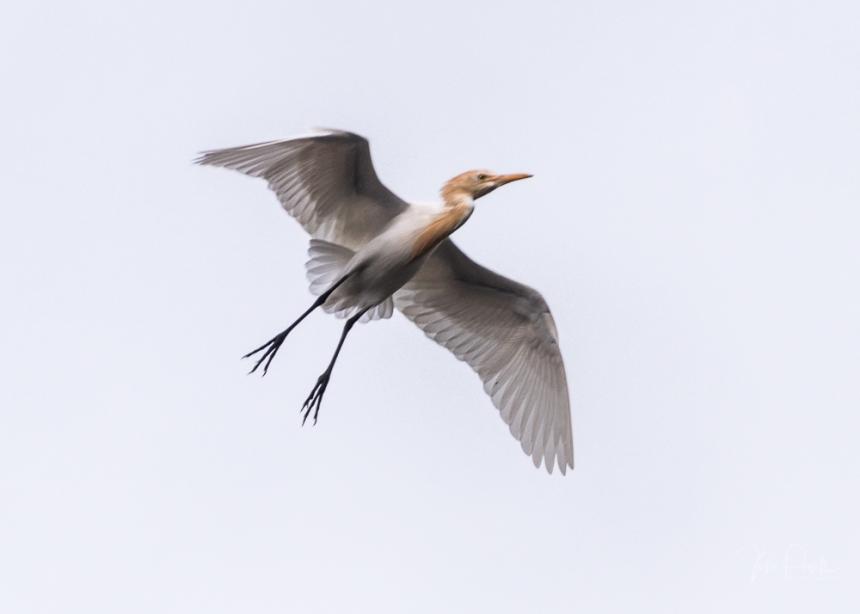 JuliePowell_White Heron-2