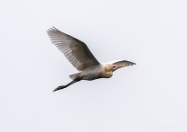 JuliePowell_White Heron-3