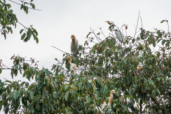 JuliePowell_White Herons-1