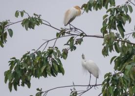 JuliePowell_White Herons-4