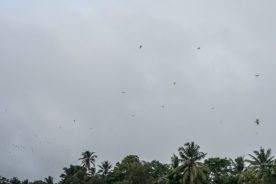 JuliePowell_White Herons-5