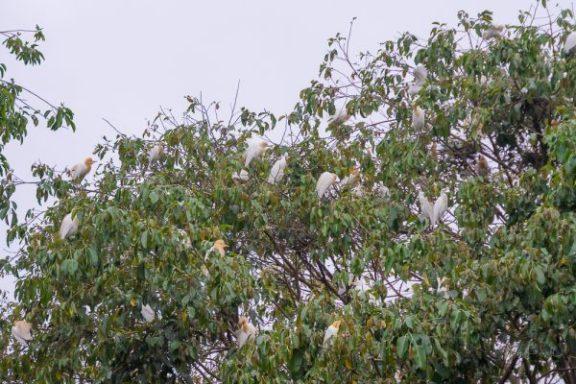 JuliePowell_White Herons-6