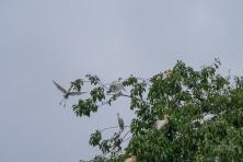 JuliePowell_White Herons-7