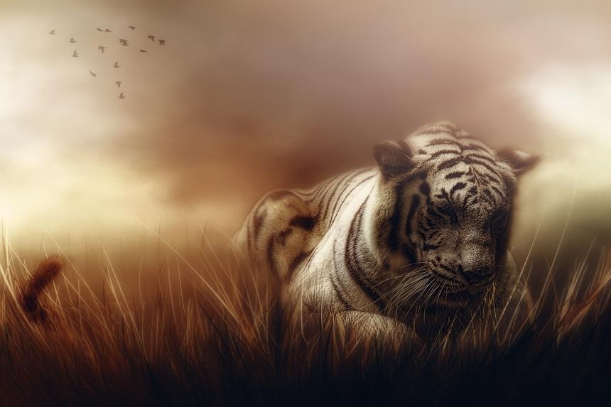 JuliePowell_White Tiger-1