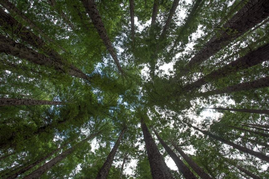 JuliePowell_Redwoods-3