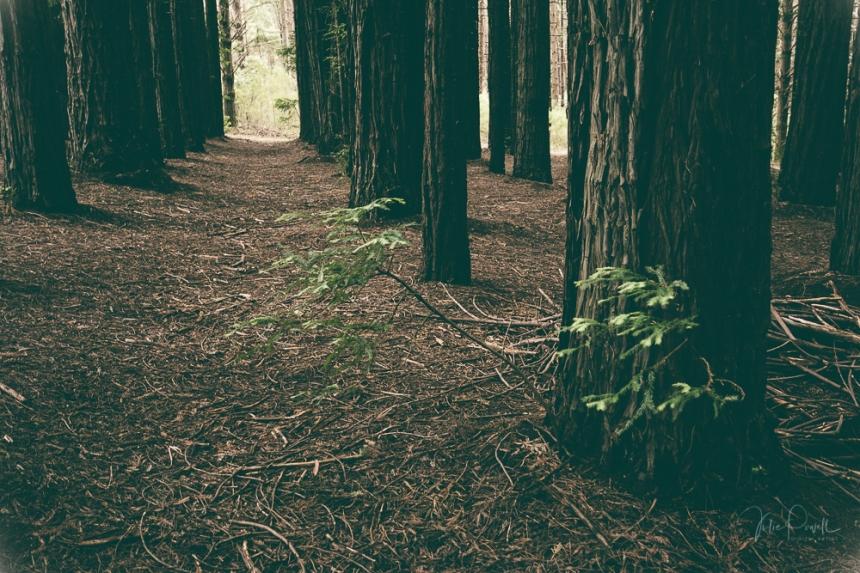 JuliePowell_Redwoods-4
