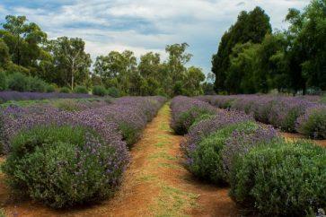 Warrantine Lavender Farm, Yarra Valley