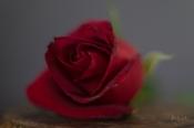 Powell-Julie_DM Rose-10