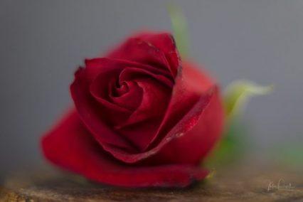 Powell-Julie_DM Rose-11