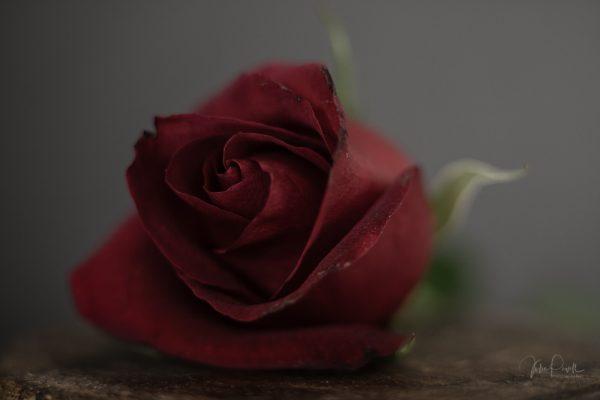 Powell-Julie_DM Rose-12