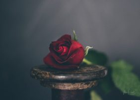 Powell-Julie_DM Rose-2