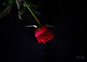 Powell-Julie_DM Rose-21
