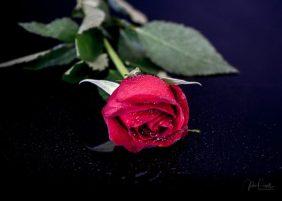 Powell-Julie_DM Rose-24