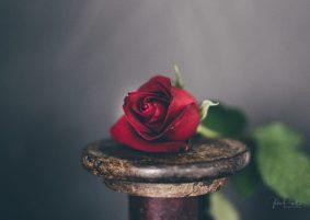 Powell-Julie_DM Rose-4