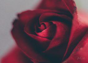 Powell-Julie_DM Rose-5