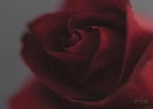 Powell-Julie_DM Rose-6