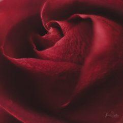 Powell-Julie_DM Rose-7