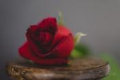 Powell-Julie_DM Rose-8