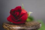 Powell-Julie_DM Rose-9