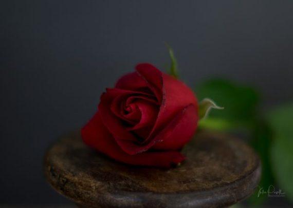 Powell-Julie_DM Rose